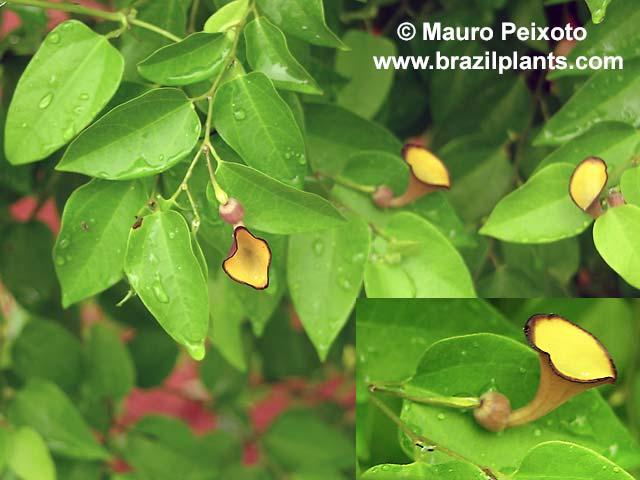 Tình yêu cây cỏ ĐV2 - Page 10 Aristolochia-nevesarmondiana